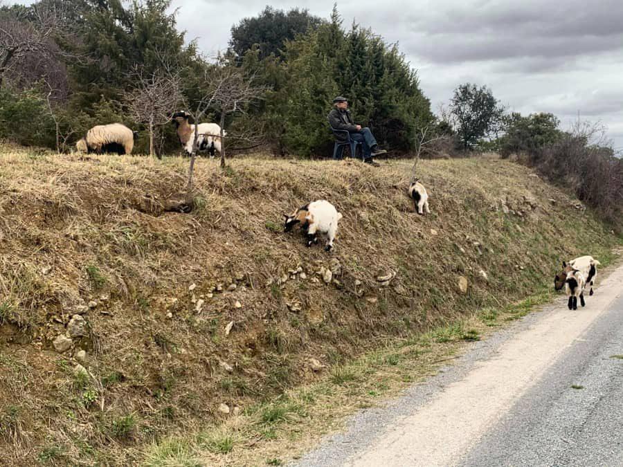 Claude garde ses chèvres