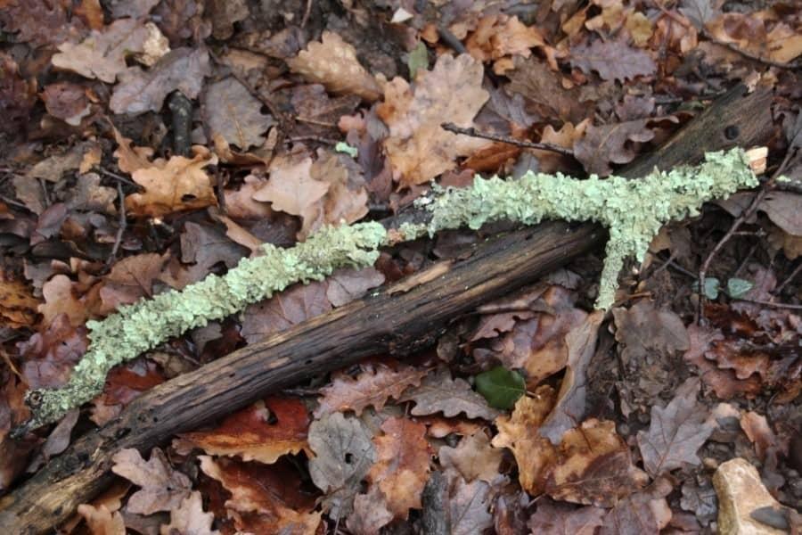 lichen sur une branche
