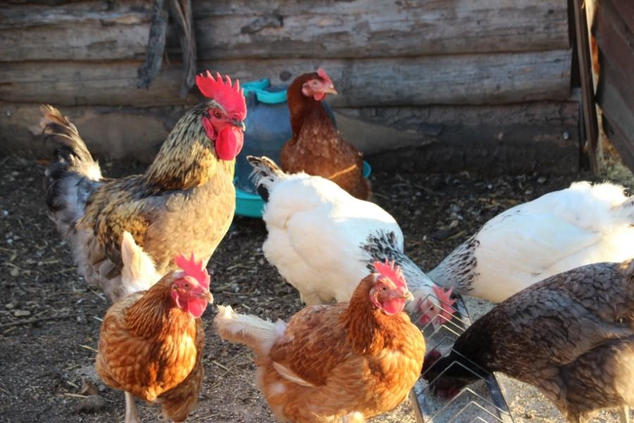 Basse cour poules et coq