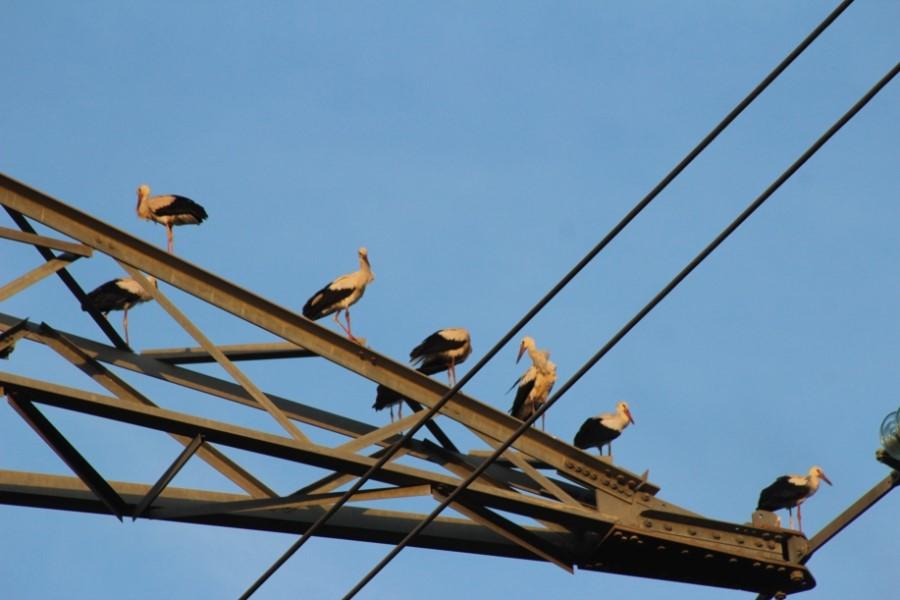Cigognes sur un pylone