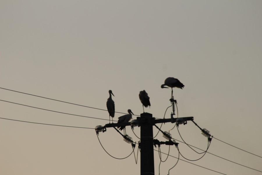Cigognes sur un pylone électrique