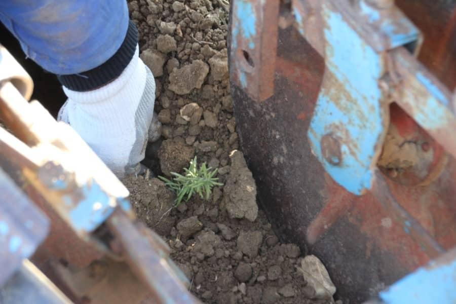 Plantation dans un champ