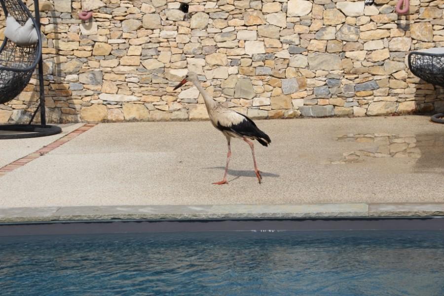Cigogne devant une piscine
