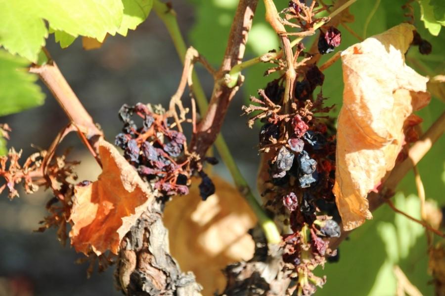 Raisins mangés par des sangliers