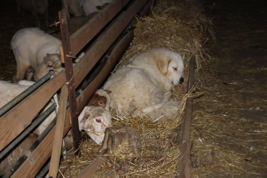 Patou dans une bergerie