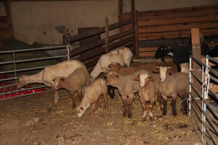 Agneaux dans une bergerie