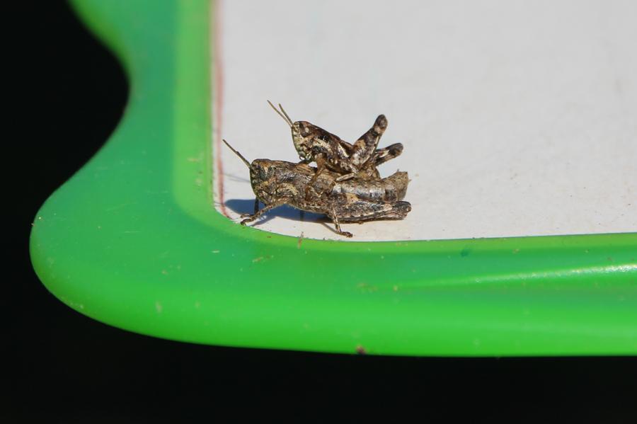 Copulation de sauterelles