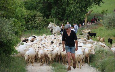 SAINT-BAUZÉLY | La transhumance de Louis Marechal