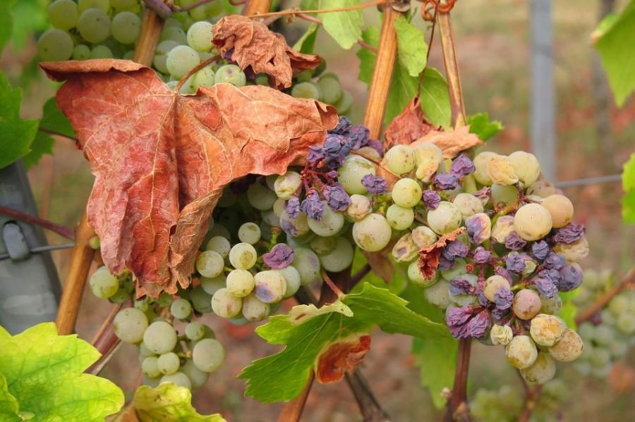 Grappe dans vigne avec sècheresse