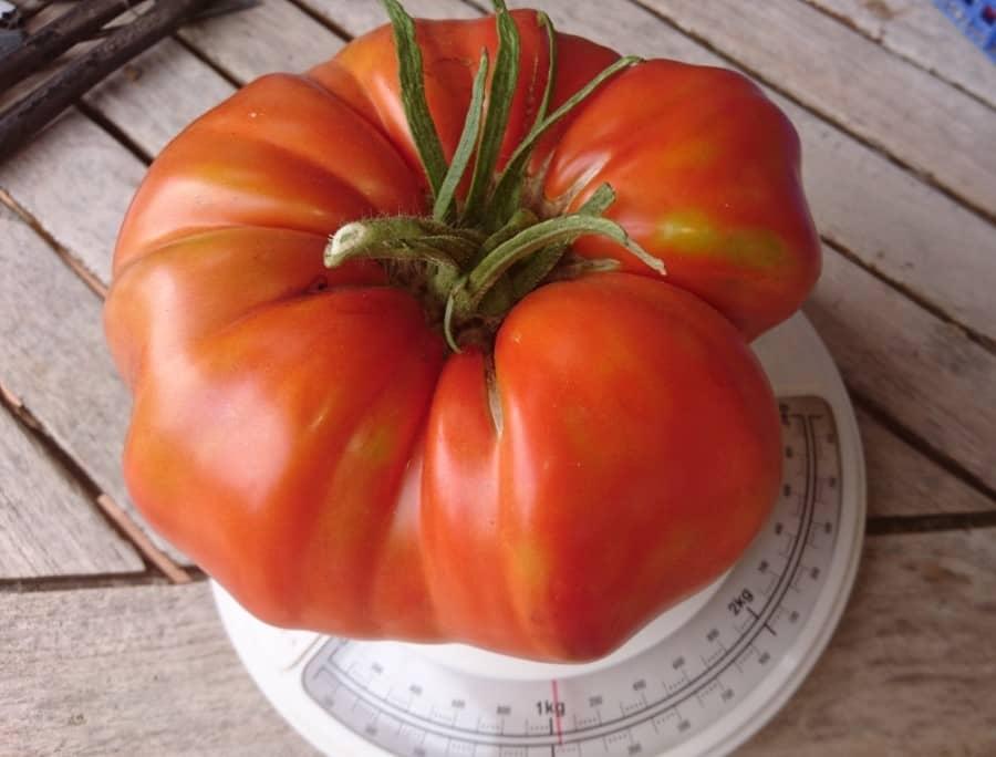 Tomate géante à La Calmette