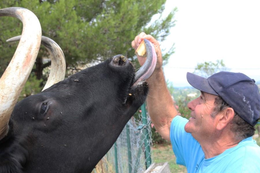Homme avec un taureau