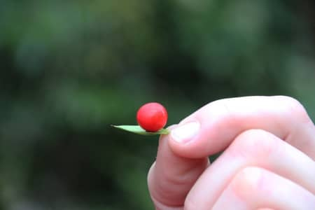 Boule rouge plante