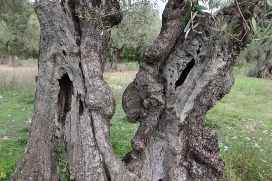 Troncs d'oliviers