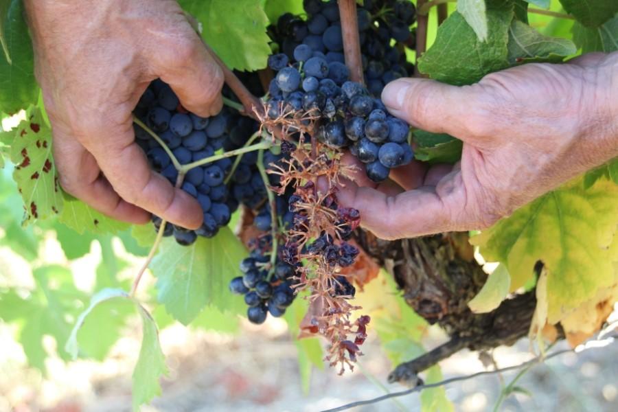 Dégâts faits par les sangliers dans les vignes